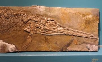 Ichthyosaur, a fish lizard