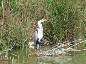 A Grey Heron taking a rest