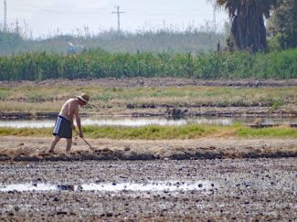 Working in the rice paddy