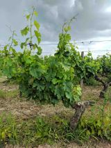 One of thousands of vines on the property.