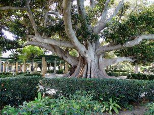 Ficus macrophylla, otherwise known as the Moreton Bay fig or Australian banyan. A latex obtained from the tree yields a rubber of fair quality.