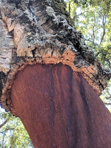 Cork trees that have had their bark harvested