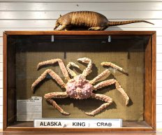 A King Crab in the Museum