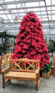 A tree of Poinsettias